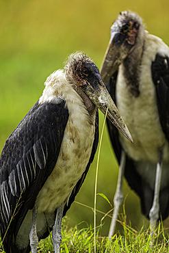 Two Marabou Storks, Leptoptilos crumenifer, in the Maasai Mara National Reserve, Kenya.