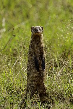 A mongoose, Herpestidae, in the Maasai Mara National Reserve, Kenya.