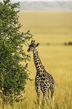 A young Giraffe, Giraffa, in the Maasai Mara National Reserve, Kenya.