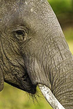 An Elephant, Loxodonta africana, in the Maasai Mara National Reserve, Kenya.