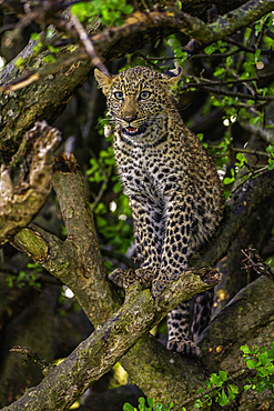 A Leopard, Panthera pardus, sitting in a tree in the Maasai Mara National Reserve, Kenya.