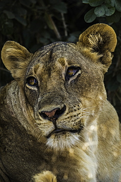 Lion stares off as it rests under shady bush, South Luangwa National Park, Zambia, Africa