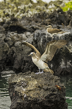 Blue Footed Booby spreading its wings on rocks with Fiddler crab, Isabela Island, Galapagos, Ecuador, South America