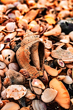 Sea shells on a beach, Delnor-Wiggins Pass State Park, Naples, Florida, United States of America, North America