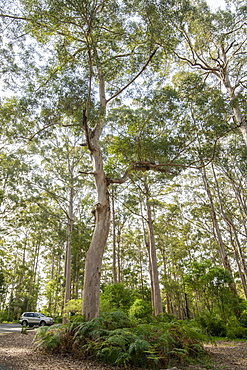 Giant Karri gum trees at Gloucester National Park, Pemberton, Western Australia, Australia, Pacific