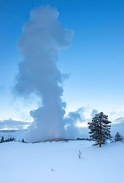 Evening eruption of Old Faithful geyser with tree and snow, Yellowstone National Park, UNESCO World Heritage Site, Wyoming, United States of America, North America