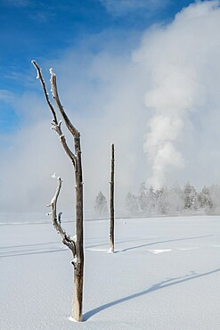 Dead trees in a snowscape with fog and geyser eruption, Yellowstone National Park, UNESCO World Heritage Site, Wyoming, United States of America, North America