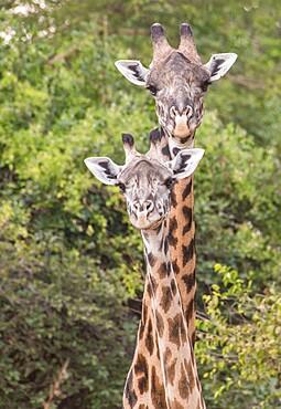 Close up of pair of giraffe (Giraffa), South Luangwa National Park, Zambia, Africa