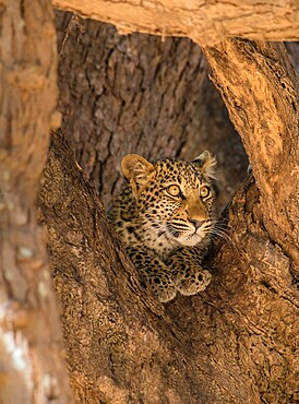 Young leopard, Panthera pardus, framed by branches, South Luangwa National Park, Zambia