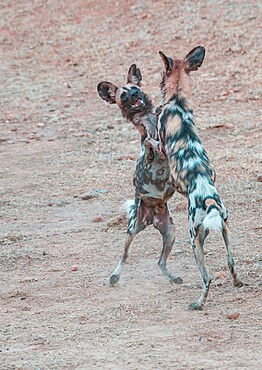 African wild dogs, Lycaon pictus, standing and playing, South Luangwa National Park, Zambia