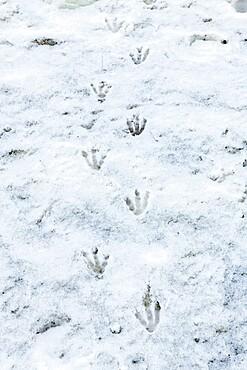 Penguin footprints in the snow Antarctica, Polar Regions