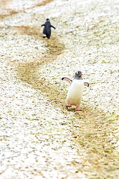 Penguins walking on paths to and from the ocean Antarctica, Polar Regions