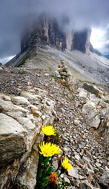 Three Peaks covered by clouds and some rocks and yellow flowers in the foreground, Dolomites, Trentino-Alto Adige, Italy, Europe