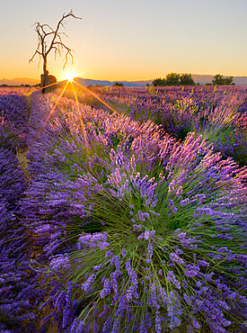 Sunrise in a lavender filed with a dead tree, a ruin and the sun burst, Valensole, Provence, France, Europe