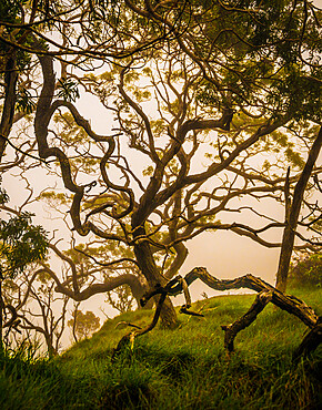 A twisted Koa tree in the high-mountain misting forests of Kauai.