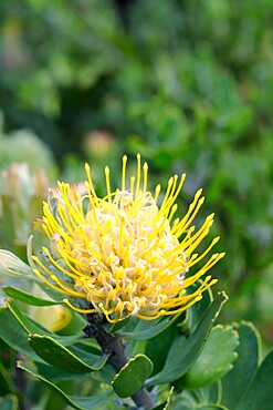 Leucospermum cuneiforme (Common Pincushion Protea), Western Cape, South Africa, Africa