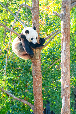 Bei Bei the Giant Panda climbs a tree in his enclosure at the Smithsonian Natioonal Zoo in Washington DC