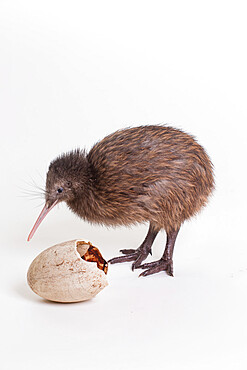 A baby kiwi bird chick next to the egg that he came out of. Smithsonian National Zoo's Conservation Institute, Virginia, USA