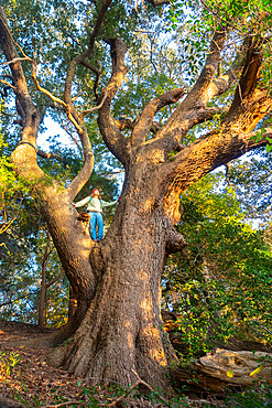 A woman in the branches of one of the largest and oldest Live Oaks in the Outer Banks of North Carolina, Nags Head, North Carolina, United States of America, North America
