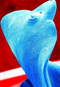 Adult liver fluke (fasciola hepatica) viewed in SEM.