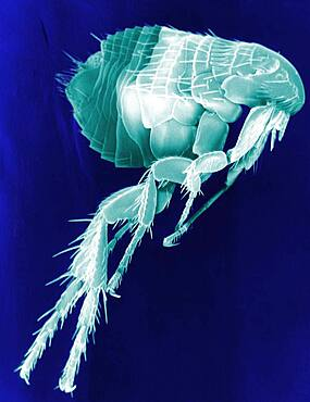 Scanning Electron Micrograph of a Flea.