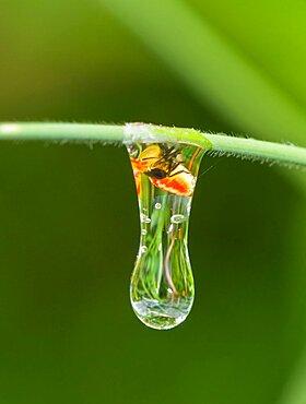 Planthopper in Water Droplet