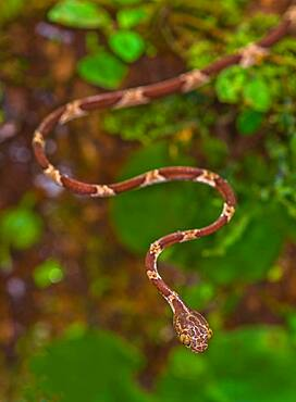 Blunthead Treesnake