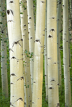 Aspen trees, Maroon Bells area, White River National Forest, Colorado.