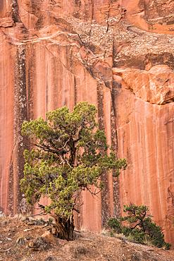 Utah Juniper tree and sandstone cliff in Grand Wash, Capitol Reef National Park, Utah.