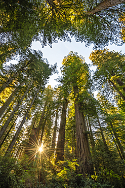 Redwood trees in the Lady Bird Johnson Grove, Redwoods National and State Parks, California.