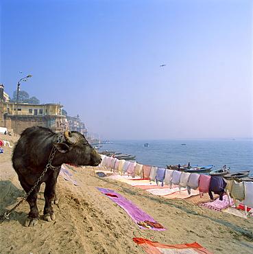 Water buffalo and drying washing on the banks of the river Ganges, Varanasi, Uttar Pradesh state, India, Asia