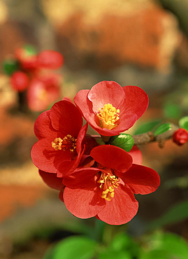 Close-up red flowers of the Chaenomeles, the ornamental quince