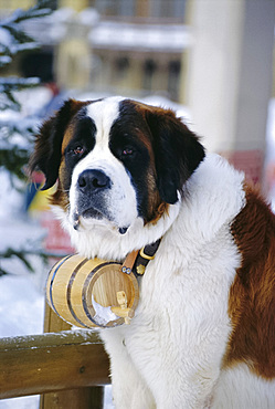 St. Bernard Dog with flask collar, St. Moritz, Switzerland, Europe