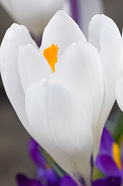 A close-up of a white crocus with yellow centre in March, United Kingdom, Europe