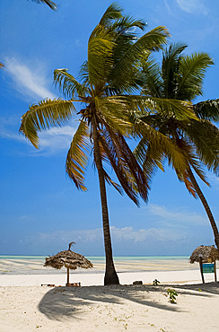 Palm trees, thatched beach umbrellas and traditional sunbeds made from coconut wood on the beach at Paje, Zanzibar, Tanzania, East Africa, Africa