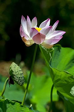 Lotus (Nelumbo nucifera)  at The Seewoosagur Ramgoolam Royal Botanical Garden, Pamplemousses, Mauritius, Indian Ocean, Africa