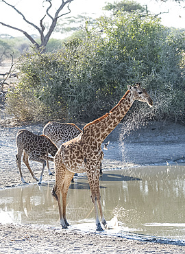 Masai Giraffes (Giraffa camelopardalis) next to a watering hole in Tarangire National Park, Manyara Region, Tanzania, East Africa, Africa