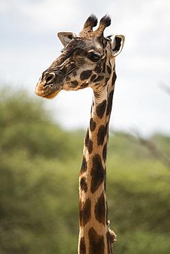 A Masai giraffe (Giraffa camelopardalis) in Serengeti National Park, Tanzania, East Africa, Africa
