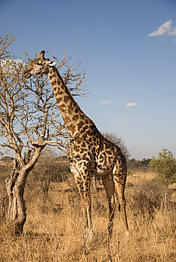 A Masai giraffe (Giraffa camelopardalis) eating acacia leaves in Serengeti National Park, UNESCO World Heritage Site, Tanzania, East Africa, Africa