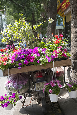 Pots of petunias and geraniums for sale on the back of a motorcycle in Hoang Hoa Tham Street, Hanoi, Vietnam, Indochina, Southeast Asia, Asia