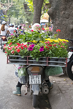 Pots of petunias and geraniums on the back of a motorcycle in Hoang Hoa Tham Street, Hanoi, Vietnam, Indochina, Southeast Asia, Asia