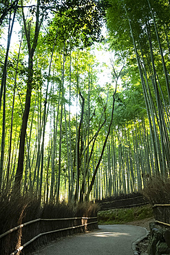 A path through the Arashimaya Bamboo grove in Sagano, Kyoto, Japan, Asia