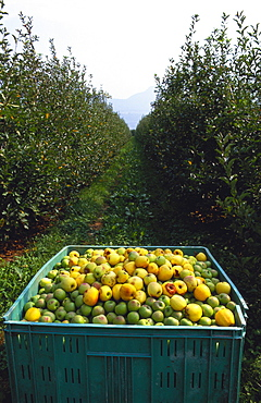 Crate of Apples in an Orchard