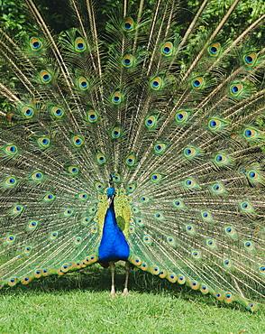 Male peacock (Pavo cristatus) fanning tail