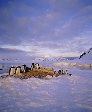 Gentoo penguin rookery, Antarctic Peninsula, Antarctica