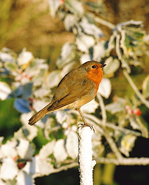 Close-up of a robin  (Erithacus rubecula) perching on a post