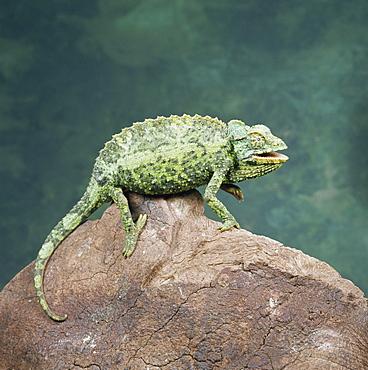 Jacksons chameleon (Chamaeleo jacksonii), Kenya, East Africa, Africa