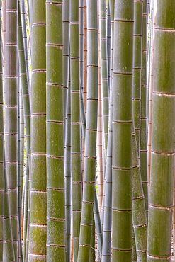 Close-up of stems, Bamboo Forest, Sagano, Ukyo Ward, Arashiyama, Kyoto, Kansai region, island of Honshu, Japan, Asia