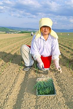 Planting onions, Hokkaido, Japan, Asia