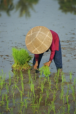 Woman in a straw hat planting out rice, Bali, Indonesia, Southeast Asia, Asia